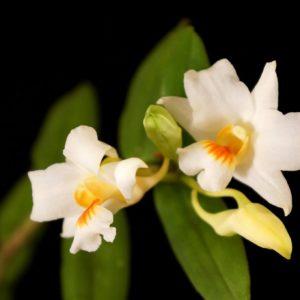 Dendrobium igneoniveum x lowii