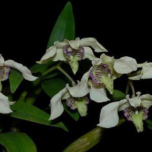 Dendrobium Nora Tokunaga (rhodostictum x atroviolaceum)