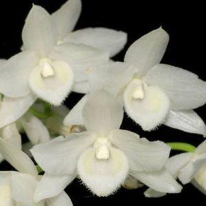 Dendrobium parishii f. alba