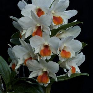 Dendrobium Roongkamol Vejvarut (Den. Dawn Maree x Den. formosum)