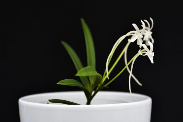 Neofinetia falcata 'Amami Island'