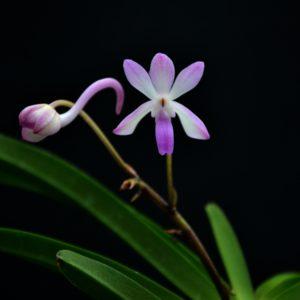 Neostylis Lou sneary pink (Neofinetia falcata x Rhynchostylis coelestis pink)