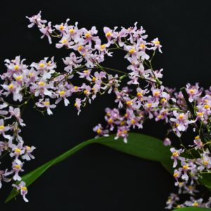 Oncidium ornithorhynchum syn. sotoanum