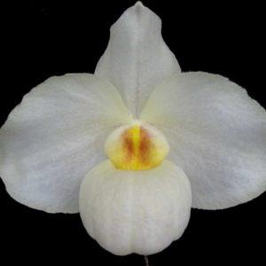 Paphiopedilum Armeni White (delenatii alba x armeniacum)