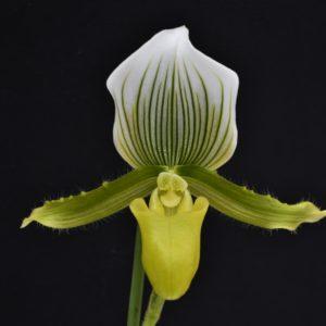 Paphiopedilum Maudiae (callosum x lawrenceanum)
