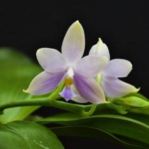 Phalaenopsis Amel Tobia (violacea indigo x pallens alba)