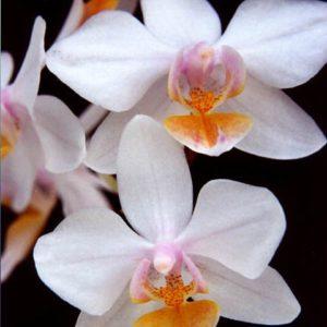 Phalaenopsis Artemis (amabilis x equestris)