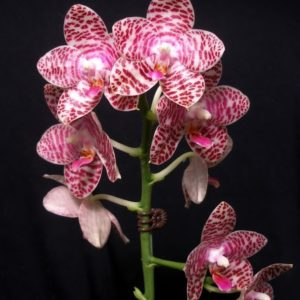 Phalaenopsis Brother Glory
