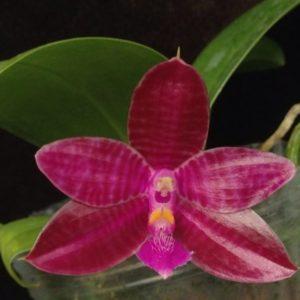 Phalaenopsis Chienlung Luedgiana (lueddemanniana x corningiana)