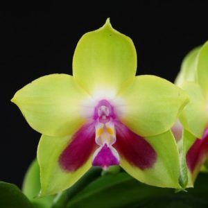 Phalaenopsis ks happy eagle
