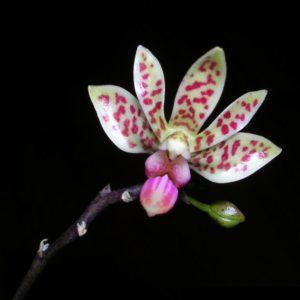 Phalaenopsis maculata x  finley