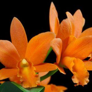 Potinara Young Ming Orange Golden Satisfaction