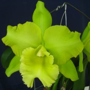 RLC Sung Ya Green (Rlc. Ports of Paradise x Rlc. Meadow Mor