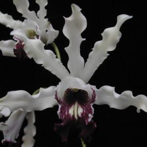 Schomburgkia albopurpurea