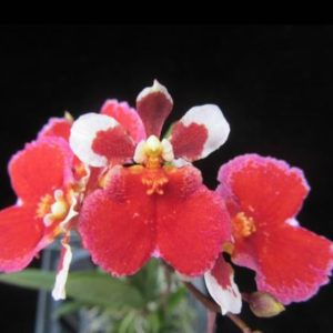 Tolumnia Jairak Firm 'Red Crystal'