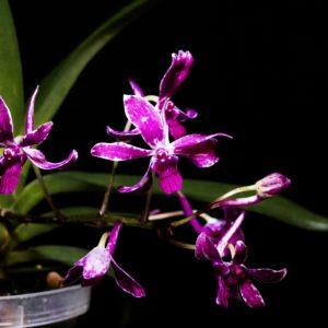 Vandachostylis Pinky (Neofinetia falcata x Rhynchostylis gigantea)