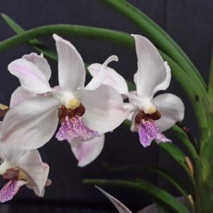 Holcoglossum flavescens x Vanda coerulescens