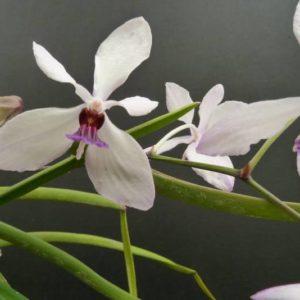 Holcoglossum wangii x Vanda 'Bayrisch Blau'