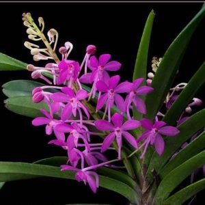 Ascofinetia Cherry Blossom (Neofinetia falcata x Ascocentrum ampullaceum)