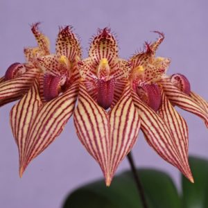 Bulbophyllum A-doribil Candy (B. Elizabeth Ann x B. bicolor)