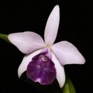 Cattleya nobilior x dayana