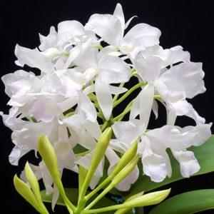 Cattleya skinneri var. albescens