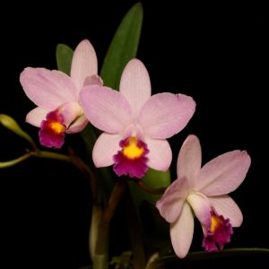 Cattlianthe Japanese Beauty 'Sakura'