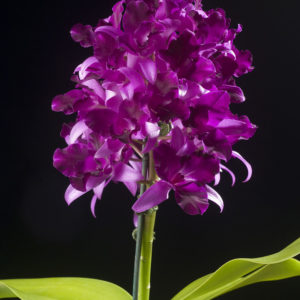 Cattlianthe Tristar Bouquet 'Purple'