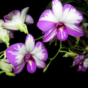 Dendrobium Enobi Purple 'Splash' AM/AOS