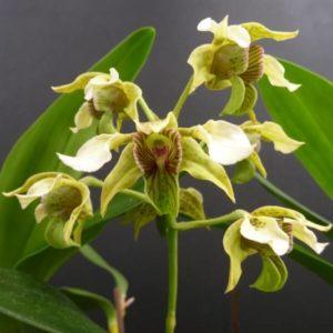 Dendrobium macrophyllum x atroviolaceum