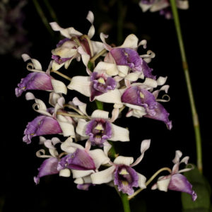 Dendrobium nindii
