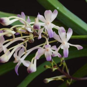 Neostylis Lou Sneary (Neofinetia falcata x Rhy. coelestis var coerulea)