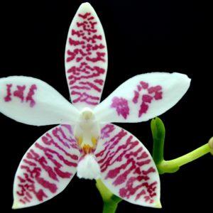 Phalaenopsis (amabilis x tetraspis #C1) x tetraspis #C1