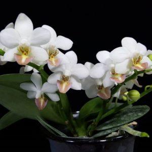 Phalaenopsis Formosa Dream (Phalaenopsis amabilis x Phalaenopsis lobbii)