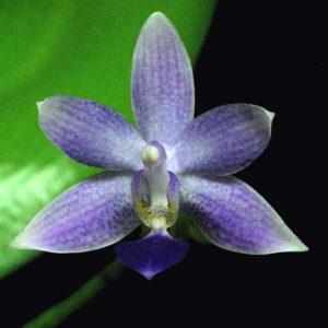 Phalaenopsis Jiaho Blueberry (Phal. Samera f. coerulea x Phal. equestris f. coerulea)