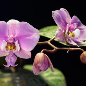 Phalaenopsis schilleriana 'Pink Butterfly'