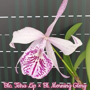 Blc. Tetra Lip × Bl. Morning Glory