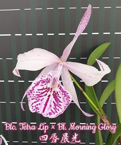 Blc. Tetra Lip × Bl. Morning Glory