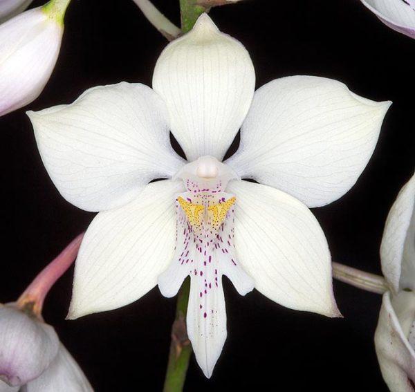 Caularthron bicornutum