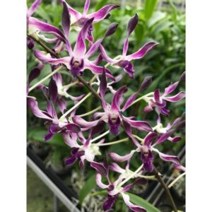 Dendrobium Betty Goto f. coerulea (Den. Brisbane x Den. Blanche Aisaka)