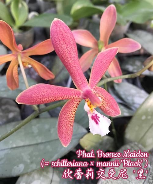 Phalaenopsis Bronze Maiden (schilleriana x mannii 'Black' )