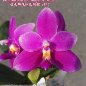 Phalaenopsis violacea var. indigo red 'MIKI'