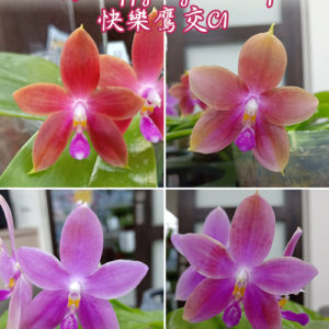 Phalaenopsis KS Happy Eagle × tetraspis 'C1'