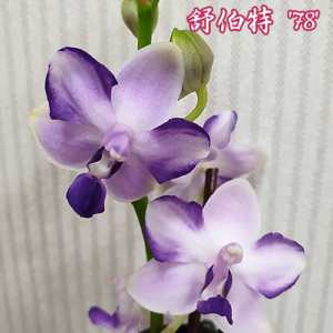 Phalaenopsis Kenneth Schubert '78'