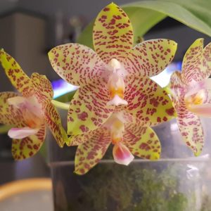 Phalaenopsis LD Giga King (gigantea 'Big Boy' x LD's Bear King 'RK3'