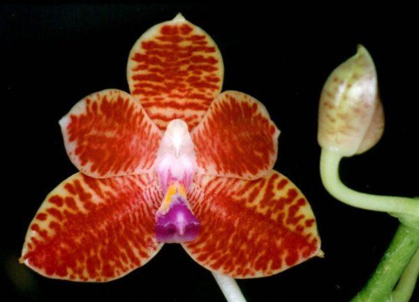 Phalaenopsis Little Fox (Phal. mariae x Phal. javanica)