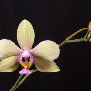 Phalaenopsis amabilis f. aurea x Phal. stobartiana