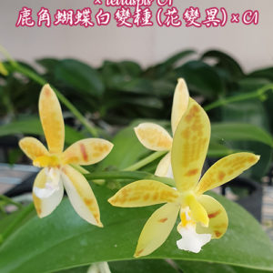 Phalaenopsis cornu-cervi var. alba (peloric) × tetraspis 'C1'