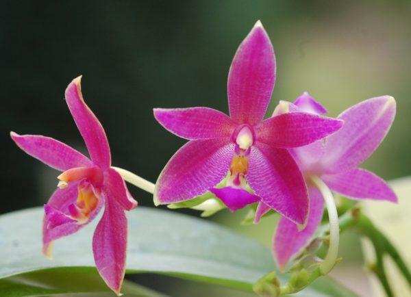 Phalaenopsis violacea indigo x Phal. cornu-cervi v. chattaladae