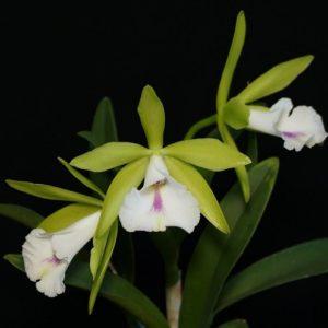 Procatavola Wufong Jade (Cattleychea Siam Jade × Brassavola nodosa)